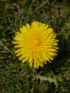 dandelion-768x1024